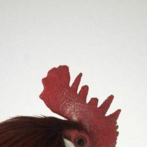 receta-beneficios-cresta-gallo