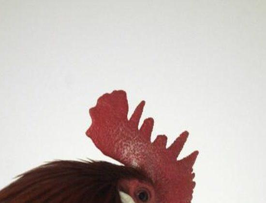 receta cresta de gallo